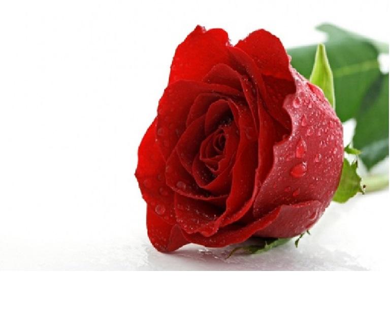 Rosa 23-4-15